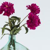 Herbstblumen: Dahlien in pink