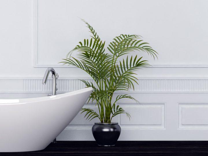 Zimmerpflanzen Bergpalme im Bad